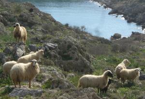 Sheep in Greece in winter