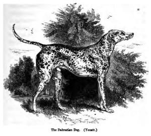 Dalmatian illustration