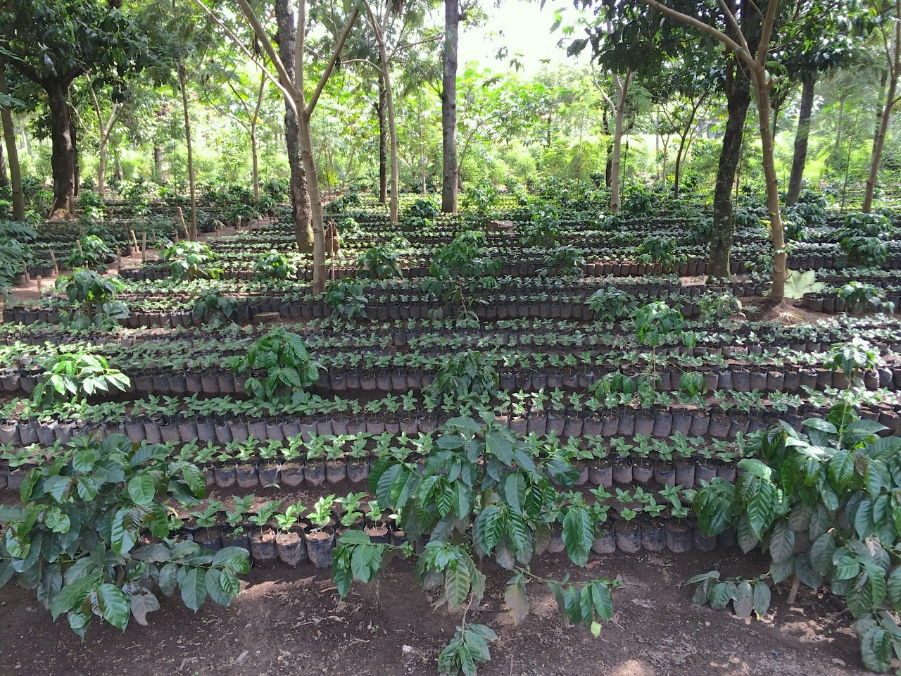 Baby coffee plant nursery